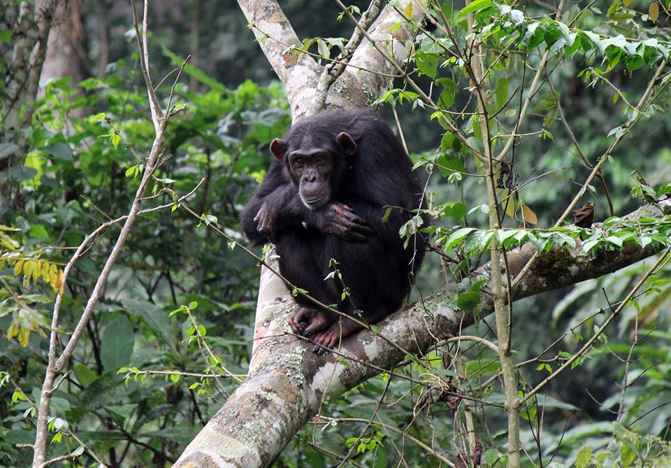 "{""id"":17,""category_id"":17,""subcategory_id"":37,""childcategory_id"":null,""name"":""Uganda: 18-days. Conquer Uganda Roundtrip . Safaris, Apes, Primates And The Great Lakes"",""photo"":""1532701297chimp15.jpg"",""size"":""Free Lunch,Free Breakfast,5% Discount,Free T-Shirt"",""cprice"":4000,""pprice"":4000,""description"":""<font face=\""arial\""><span style=\""font-size: 11pt; color: rgb(29, 27, 17);\"" lang=\""EN-GB\"">Source of\r\nThe Nile, Sipi Falls, Kidepo Valley & Murchison Falls, Kibale Forest, Lake\r\nAlbert, Mt.Rwenzori, Queen Elizabeth National Park, Bwindi Forest, Lakes\r\nBunyonyi\/Mutanda , Lake Mburo National Parks.<\/span><\/font><div><b><span style=\""font-size: 11pt; color: rgb(29, 27, 17);\"" lang=\""EN-GB\""><font face=\""arial\""> <\/font><\/span><\/b><p class=\""MsoNormal\""><font face=\""arial\"">Day one<\/font><\/p>\r\n\r\n<p class=\""MsoNormal\""><font face=\""arial\"">Arrive at Entebbe International airport and transfer to\r\nSerena Lake Victoria (45min-1hdrive),Best Western, or  Boma Hotel Entebbe .Check in for overnight (5\r\nmin drive)Bed & Bfst<\/font><\/p>\r\n\r\n<p class=\""MsoNormal\""><font face=\""arial\"">Day two Source of The Nile <\/font><\/p>\r\n\r\n<p class=\""MsoNormal\""><font face=\""arial\"">0:830 After  breakfast\r\ncheck out and visit the  UNESCO World\r\nheritage Kasubi Tombs the largest thatched Mausoleum inEast Africa or   Wamala Tombs , city markets or craft\r\nshops.  Enroute to Jinja you pass\r\nthrough  tea and sugar plantations and\r\nthe luxuriant Mabira Forest. Check in at The Haven or  EdenResort \r\nor similar lodge  for Lunch  .After lunch, , visit main street\r\nJinja,markets and The  Source of The\r\nNile  where the world\u2019s longest river\r\nbegins her  tempestuous 4000 mile\r\nwestward  journey  to the Mediterranean . Return   for Dinner and Overnight.  Full Board<\/font><\/p>\r\n\r\n<p class=\""MsoNormal\""><font face=\""arial\"">Day three  Sipi Falls\r\nMt .Elgon<\/font><\/p>\r\n\r\n<p class=\""MsoNormal\""><font face=\""arial\""> After breakfast at\r\nleisure, head eastward for Sipi Falls at the slopes of Mt. Elgon. Check in at\r\nSipi Falls Resort.After lunch Tour the coffee plantations and learn a little\r\nabout the life of a coffee plant.    \r\nOther activities: There is a plethora of hiking and trekking\r\nopportunities both in and around Mt Elgon National Park, fly fishing, archery\r\nand climbing\/abseiling or just sit back and relax and take in the vast array of\r\nviews. If you are in the area you may experience the lively circumcision\r\nceremonies of the Bagishu conducted every other   odd year to initiate young men into\r\nadulthood.  <\/font><\/p>\r\n\r\n<p class=\""MsoNormal\""><font face=\""arial\"">Day four  Apoka\r\n-Kidepo Valley National Park <\/font><\/p>\r\n\r\n<p class=\""MsoNormal\""><font face=\""arial\"">After early an morning breakfast transfer to Kidepo via\r\namazing bluff and rocky mountain plains. \r\nStop over for lunch in Nyakapiripit.Check in at N\u2019gamoru or\r\nSavannah  Camp for lunch. (9hrs)<\/font><\/p>\r\n\r\n<p class=\""MsoNormal\""><font face=\""arial\"">After lunch make your entry into thepark isolated from the\r\nUgandan mainstream. Take an afternoonGame drive in an open roofed vehicle and\r\nvirtually touch the wild. Return for dinner & overnight Full Board<\/font><\/p>\r\n\r\n<p class=\""MsoNormal\""><font face=\""arial\"">Day  five Game drive\r\nvisit Karenga Village,  Cave <\/font><\/p>\r\n\r\n<p class=\""MsoNormal\""><font face=\""arial\"">  Wake up early for a\r\ncup of tea and quick snack as the sun rises. \r\nOptions:Game drive through the park to one of the tributaries of the\r\nNarus River before returning to the lodge for lunch. After lunch visit the\r\nnomadic karimojong  tribe and learn about\r\ntheir culture in the village of Karenga,   \r\nclimb up the caves and visit the hot springs. OR Take a  visit to the \r\nIk in the beautiful plains , hamlets and hills overlooking the Kenya\r\nborder.   Dinner &overnight . Full\r\nBoard<\/font><\/p>\r\n\r\n<p class=\""MsoNormal\""><font face=\""arial\"">Day  six Head for\r\nMurchison Falls National Park<\/font><\/p>\r\n\r\n<p class=\""MsoNormal\""><font face=\""arial\"">After an early morning breakfast, head for Murchison Falls\r\nNational Park with a lunch stopover in Gulu  \r\narriving late evening.  Check in\r\nat Paraa Safari or a traditional hut at Heritage lodge for Dinner & Overnight\r\nwith a chance to spot game enroute.The country\u2019s largest protected area, Murchison\r\nFalls National Park is studded with Borasus palm and grassland supporting\r\nbirdlife, lion, buffalo, elephant and Uganda kob, Rothschild\u2019s giraffe ,\r\nabysinian ground hornbill, grey kestrel, martial eagle, duiker and Patas\r\nmonkey.(6-7hrs) Half Board<\/font><\/p>\r\n\r\n<p class=\""MsoNormal\""><font face=\""arial\"">Day  seven  Game drive, encounter ,shoebill , launch\r\nCruise <\/font><\/p>\r\n\r\n<p class=\""MsoNormal\""><font face=\""arial\"">07:00 After breakfast at leisure, arrange a Gamedrive and\r\nboat to the delta in search for the elusive shoe bill stork.  2:00PMLaunch cruise- After lunch head for an\r\nafternoon Nile cruise (3hrs to the bottom).Ernest Hemingway the famous 20th\r\ncentury writer survived wild animals when he crash landed in the canyon.\r\nAt  the \r\ntop of the falls,the most powerful force of water on earth is forced\r\nthrough a 7m crevice into a plume of rainbow smoke 40M below.  Sail back downstream and return to your lodge\r\nfor Dinner &Overnight. Full Board<\/font><\/p>\r\n\r\n<p class=\""MsoNormal\""><font face=\""arial\"">Day eight   Albertine\r\nRift, Kabwoya Wildlife Reserve <\/font><\/p>\r\n\r\n<p class=\""MsoNormal\""><font face=\""arial\"">08:30 After breakfast at leisure you have another option for\r\na gamedrive before you checkout and depart \r\nSouth Westward for  Kabwoya\r\nWildlife Reserve   via the Albertine rift\r\narriving  early  afternoon. Visit   historical and cultural sites including\r\nRoyal Mparo Tombs in Hoima.  King\r\nKabalega's tomb, covered with white spotted brown cowhide, fixed around the\r\nvault with nine traditional hoes.Proceed \r\non the Butiaba route past tea estates and Kyehoro fishing village .\r\nCheck in at Lake Albert  Safari Lodge\r\nin   your grass thatched cottage for\r\nlunch. Overlooking the lake. with magnificent views of the Blue Congo Mountains\r\nacross the lake. After lunch  Families\r\ncan relax at the pool or enjoy various walking and cycling routes to suit their\r\nlevels of fitness and will be sure to get up close and personal with our varied\r\nbird species and wildlife.Dinner & Overnight   .(3hr drive) Full Board<\/font><\/p>\r\n\r\n<p class=\""MsoNormal\""><font face=\""arial\""> Day nine Kibale Forest  \r\nNocturnal walk<\/font><\/p>\r\n\r\n<p class=\""MsoNormal\""><font face=\""arial\"">08:00 After  a hearty\r\nbreakfast,checkout as you head for game spotting drive for  kobs, hartebeests and waterbucks .  <\/font><\/p>\r\n\r\n<p class=\""MsoNormal\""><font face=\""arial\"">Depart for  Kibale\r\nforest National Park  through verdant\r\ncountry and the rift valley escarpment with via Hoima town . Check in at your\r\nLodge  on time for lunch. Afternoon at\r\nleisure.Take an optional  Nocturnal walk\r\n;sight bush baby,Pottos& Thomas Galagos.Dinner & Overnight Full Board<\/font><\/p>\r\n\r\n<p class=\""MsoNormal\""><font face=\""arial\"">Day  ten Primate Walk\r\nand diurnals ,Mt.Ruwenzori  N.P<\/font><\/p>\r\n\r\n<p class=\""MsoNormal\""><font face=\""arial\"">After breakfast track chimpanzee and ten other diurnal\r\nprimates including, L\u2019hoestes, red-colobus, blues, red-tailed and grey checked\r\nmangabey.This walk is excellent for viewing bird life and seeing primates at\r\nclose quarters.    <\/font><\/p>\r\n\r\n<p class=\""MsoNormal\""><font face=\""arial\""><o:p> <\/o:p>After lunch, depart for \r\nthe snowcapped 5109M Mt. Rwenzori UNESCO World Heritage site ,        (1hr drive)Check in at Equator Snow\r\nlocated on the foothills of the fabled  \r\n.\u2018Mountains of the moon\u2019. You are warmly welcomed by the Bakonzo\r\ncommunity who have inhabited the foothills of the Mountains for over 300 years.\r\nYou may take the short walk down to the river bank where  you may \r\nfind natural hot springs.Dinner & overnight . Full Board<\/font><\/p>\r\n\r\n<p class=\""MsoNormal\""><font face=\""arial\""><o:p> <\/o:p>Day  eleven \r\nhike \u2018 Mountains of The Moon\u2019 , Queen Elizabeth N. Park<\/font><\/p>\r\n\r\n<p class=\""MsoNormal\""><font face=\""arial\"">08:00After early morning breakfast, Start your  guided hike at base camp  Nyakalengijo \r\nand set off   through a maze of\r\ndense forest canopy , bird  and monkey\r\nchirps across Mobuku river, climbing over rocks and bluff . After packed lunch\r\nat Nyabitaba camp. Return to base. After refreshing check out and head for\r\nQueen Elizabeth N. Park .Stopover at the Equator for photographs before\r\nproceeding. Game drive enroute  .(1.5hrs)<\/font><\/p>\r\n\r\n<p class=\""MsoNormal\""><font face=\""arial\"">1 1:00 Drive to Mweya Peninsular to for a launch cruise.\r\nGame drive enroute. 2: 00   Begin your\r\ncruise along the Kazinga   Channel up\r\nclose to a variety of \r\nhippo,elephant,buffalo. fish eagle, goliath heron, African Jacana\r\nand   Egyptian geese. \u2018U\u2019  turn and \r\nhead  to base (2 hour cruise).\r\nReturn  to your Lodge  for \r\nDinner and  Overnight . Full Board<\/font><\/p>\r\n\r\n<p class=\""MsoNormal\""><font face=\""arial\"">Day twelve    Bwindi\r\nImpenetrable Forest National Park <\/font><\/p>\r\n\r\n<p class=\""MsoNormal\""><font face=\""arial\"">Wake up at leisure. After breakfast   check out and take an early morning  game drive.Look out for lions , Elephants,\r\nBuffalos, Hyenas, the Rare Giant Forest hog, Warthogs,  Kobs \r\nand teeming birdlife.  Visit the\r\nsaltmines as you  for depart  Buhoma ,Bwindi  Impenetrable Forest N.P via the Southern\r\nsector .Have a lunch stop at Ishasha river \r\nCamp or Savannah Resort.As you drive through Ishasha there is a chance\r\nof spotting  tree climbing lions\r\nelephants ,buffalo and other angulates. Check in at your camp or Lodge   in Buhoma or Ruhija for Dinner and\r\nOvernight: (drive-4hrs) Full Board<\/font><\/p>\r\n\r\n<p class=\""MsoNormal\""><font face=\""arial\"">Day thirteen  Gorilla\r\ntracking Bwindi ,Lake Bunyonyi or Lake Mutanda<\/font><\/p><p class=\""MsoNormal\""><font face=\""arial\"">06:30 Have an early morning wakeup call on time for\r\nbreakfast .  Head for briefing by the\r\nranger\/guide at 8:00am before tracking . Don\u2019t forget your packed lunch as you\r\nnever know  what time you shall return\r\n!  The gorillas are tracked, located and\r\nafter approximately one hour with them, return to base to freshen up and\r\ncheckout .Depart for Lake Bunyonyi or Lake Mutanda as you drive through the\r\nmisty slopes of Bwindi   through Echuya\r\nForest Reserve renown for endemic birdlife . (4-5hrs)Checkin at Birds Nest or\r\nArcadia Cottages on L.Bunyonyi  Chameleon\r\nHill or Mutanda Lake Resort on Lake Mutanda  \r\nfor dinner  & overnight .\r\nHalf  Board<\/font><\/p>\r\n\r\n<p class=\""MsoNormal\""><font face=\""arial\"">Day  fourteen  Lake Bunyonyi or Lake Mutanda<\/font><\/p>\r\n\r\n<p class=\""MsoNormal\""><font face=\""arial\"">After an early morning breakfast activities include: If\r\nstaying at LAKE BUNYONYI:  Island hoping\r\nboat ride, visit to Kyevu market & volcanic gas emissions,Bukora cave and\r\nabaheshi blacksmiths, local market , hiking and bird watching.<\/font><\/p>\r\n\r\n<p class=\""MsoNormal\""><font face=\""arial\"">If staying at  LAKE\r\nMUTANDA . Take an island trip  (boat);\r\n3-4h; 2h motorboat ride to the burial place of Kyangushu will be followed\r\nby Mutanda Island, the biggest and the only inhabited one. On a clear day it\r\noffers views of Bunagana (Congo border), Lake Mulehe and Bwindi NP.There are\r\nalso other trails including the village trail and the Batwa tribal trail\r\navailable on request. Return late evening for a campfire evening and reminisce\r\nthe events of the day before you retire Dinner & Overnight  Full Board<\/font><\/p>\r\n\r\n<p class=\""MsoNormal\""><font face=\""arial\""> Day fifteen  Lake MburoN.P<\/font><\/p>\r\n\r\n<p class=\""MsoNormal\""><font face=\""arial\"">09:00After breakfast at leisure  head for Lake Mburo National Park  with a brief \r\nstopover at Igongo Cultural Museum. \r\n.Game drive enroute Check in at \r\nMihingo,Rwakobo Rock or L.Mburo Safari \r\nlodge for dinner & overnight  \r\n. (3-4hr drive) Full Board<br><\/font><\/p>\r\n\r\n<p class=\""MsoNormal\""><font face=\""arial\"">Day   sixteen  Lake Mburo National Park\/Equator Ssese\r\nislands <\/font><\/p>\r\n\r\n<p class=\""MsoNormal\""><font face=\""arial\"">08:00After breakfast check out game drive  or take a walking safari .Spot  Zebra, Cape buffalo, eland, topi, or a guided\r\nwalk  or a visit to the local herdsmen in\r\nthe surrounding  villages. <\/font><\/p>\r\n\r\n<p class=\""MsoNormal\""><font face=\""arial\""> Depart for Ssese\r\nislands via Bukakata    pier .  Proceed \r\nby car  ferry to the Bugala\r\nIslands (1 \/2 hour). On arrival  transfer\r\nto the  Brovad Sands  resort. Dinner  and over night. <\/font><\/p>\r\n\r\n<p class=\""MsoNormal\""><font face=\""arial\"">Day  seventeen  Ssese \r\nIslands Lake Victoria <\/font><\/p>\r\n\r\n<p class=\""MsoNormal\""><font face=\""arial\"">Head for a guided \r\nisland drive to the fishing villages, forest  hiking, reach the summit of the forest where\r\nlies the ruins of  colonial station\r\nduring   explorer  missions \r\nto The Source of the Nile in the 19th C., now shrouded in forest\r\ncanopy.  After lunch Other optional\r\nactivities  include visits to the palm\r\noil plantations, cycling, fishing, and boat rides. Dinner  and over night.<\/font><\/p>\r\n\r\n<p class=\""MsoNormal\""><font face=\""arial\""><o:p> <\/o:p>Day  eighteen  Lake Victoria<\/font><\/p>\r\n\r\n<p class=\""MsoNormal\""><font face=\""arial\"">08:00 Depart for Entebbe \r\nby car ferry  disembark at\r\nNakiwogo pier mid morning and transfer to \r\nEntebbe International Airport to catch your onward flight.<\/font><\/p>\r\n\r\n<p class=\""MsoNormal\""><font face=\""arial\""> <\/font><\/p>\r\n\r\n<p class=\""MsoNormal\""><o:p><font face=\""arial\""> <\/font><\/o:p><\/p><\/div>"",""stock"":2,""featured"":1,""policy"":"" <b><span style=\""font-size: 10pt; font-family: Arial, sans-serif;\"" lang=\""EN-GB\"">SAFARI\r\nTERMS            <\/span><\/b><p class=\""MsoNormal\"" style=\""margin-bottom: 7.5pt; line-height: normal; background-image: initial; background-position: initial; background-size: initial; background-repeat: initial; background-attachment: initial; background-origin: initial; background-clip: initial;\""><span style=\""font-size: 10pt; font-family: Arial, sans-serif;\"" lang=\""EN-GB\"">Prices\r\ninclude airport transfers; accommodation; meals as stated; the services of an\r\nEnglish-speaking driver\/guide and a safari vehicle; porterage of two items of\r\nbaggage per person;rescue cover on request, trips; park fees; gorilla and\r\nchimpanzee permits where appropriate. <br><\/span><\/p><p class=\""MsoNormal\"" style=\""margin-bottom: 7.5pt; line-height: normal; background-image: initial; background-position: initial; background-size: initial; background-repeat: initial; background-attachment: initial; background-origin: initial; background-clip: initial;\""><span style=\""font-size: 10pt; font-family: Arial, sans-serif;\"" lang=\""EN-GB\"">Prices exclude all items of a personal\r\nnature such as entry visas, tips , telephone calls, laundry, gifts, airport\r\ntaxes and all drinks. .( Any  private dealings\r\nwith our staff beyond  professional engagement\r\nare on the clients own accord ) .<\/span><\/p><p class=\""MsoNormal\"" style=\""margin-bottom: 7.5pt; line-height: normal; background-image: initial; background-position: initial; background-size: initial; background-repeat: initial; background-attachment: initial; background-origin: initial; background-clip: initial;\""><span style=\""font-size: 10pt; font-family: Arial, sans-serif;\"" lang=\""EN-GB\"">The company reserves the right to vary the\r\nsafari services agreed with the client in the event of unforeseen\r\ncircumstances, such as road closures, bad weather, problems with national parks\r\nor hotels, security considerations. In such cases alternative arrangements will\r\nbe made as circumstances permit <\/span><span style=\""font-size: 10.5pt; font-family: Helvetica, sans-serif;\""><o:p><\/o:p><\/span><\/p>"",""status"":1,""views"":2375,""tags"":""uganda safaris,aaa safaris,malengtravel.net,Gorilla tracking,chimpanzee tracking,water safari,river Nile"",""created_at"":""2018-07-27 20:00:19"",""updated_at"":""2019-04-25 05:25:42""}"